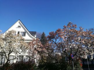 Magnolienbäume am Erkrather Rathaus